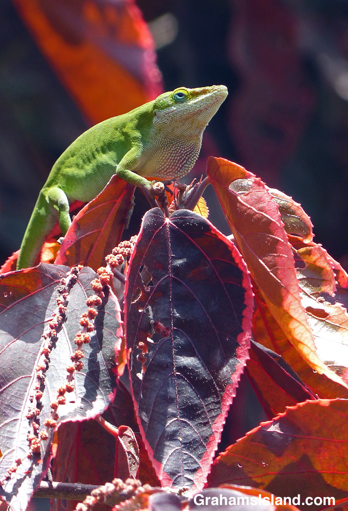 Green anole on red leaves
