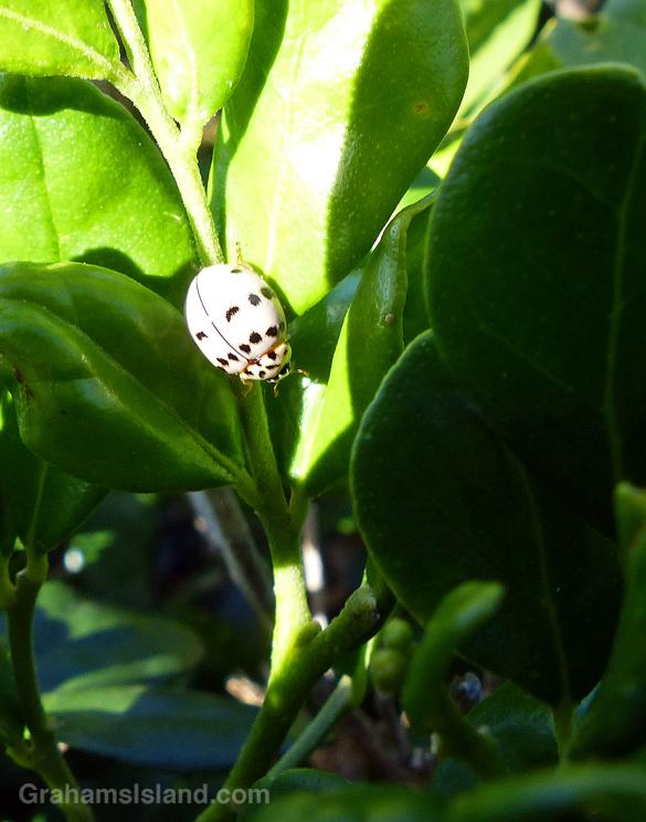 An ash grey lady beetle in the Big Island of Hawaii.
