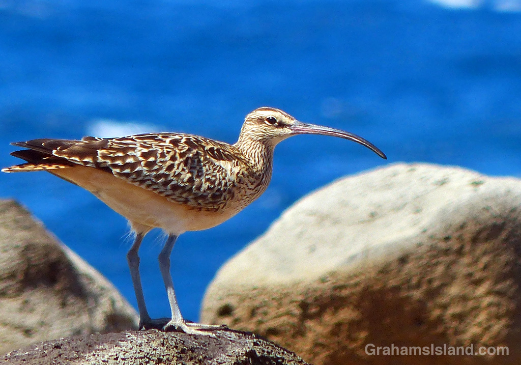 A Bristled-thighed curlew on the Big Island coast