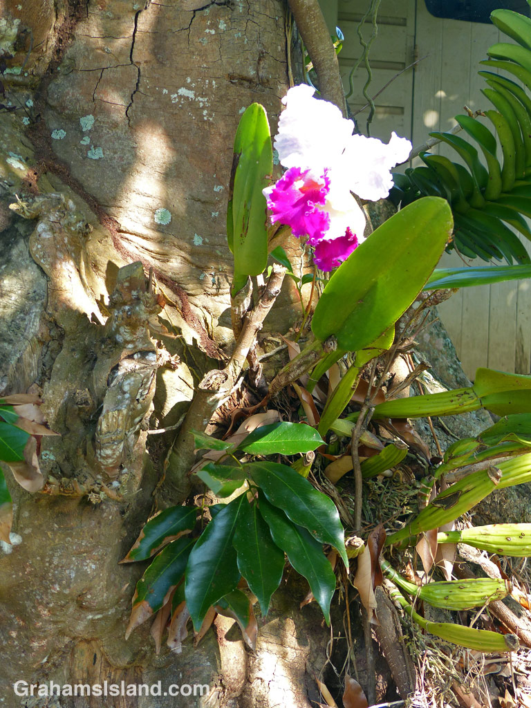 A cattleya orchid, growing on the trunk of a lychee tree on the Big Island.