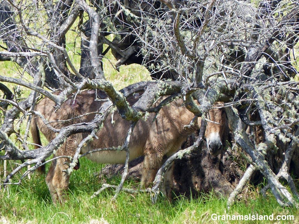 A donkey shelters under a tree