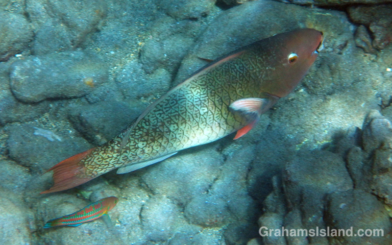An Ember Parrotfish is trailed by a Christmas Wrasse off the Big Island.