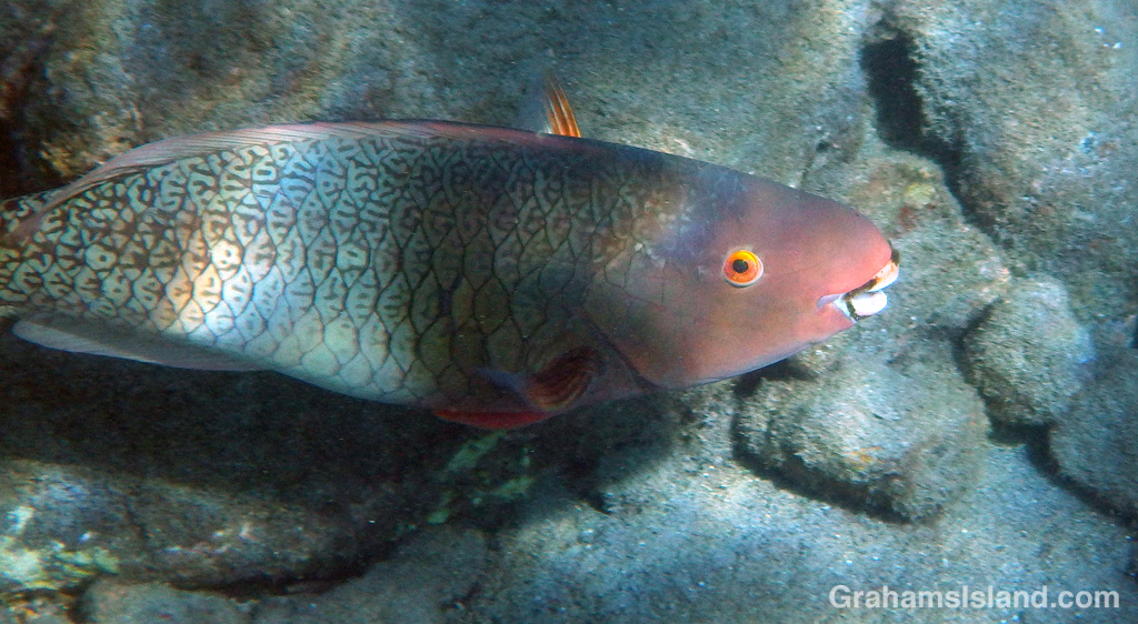 An Ember Parrotfish swims by off the Big Island.