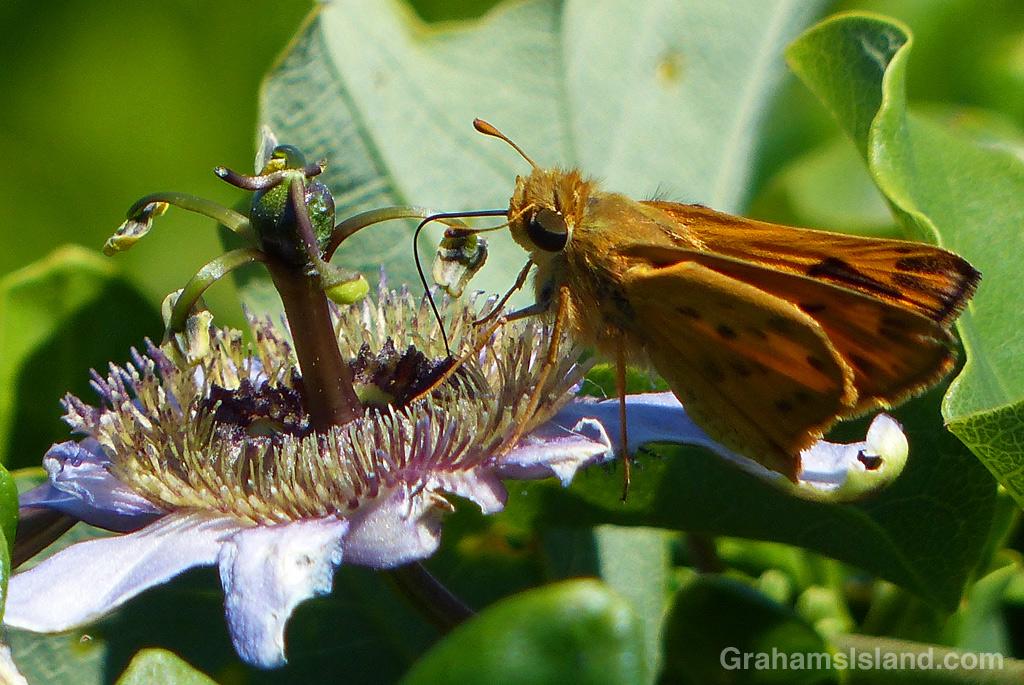 Fiery skipper butterfly proboscis in passion flower