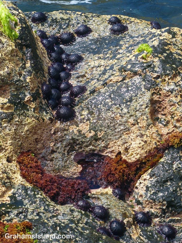 Helmet urchins on the North Kohala coast