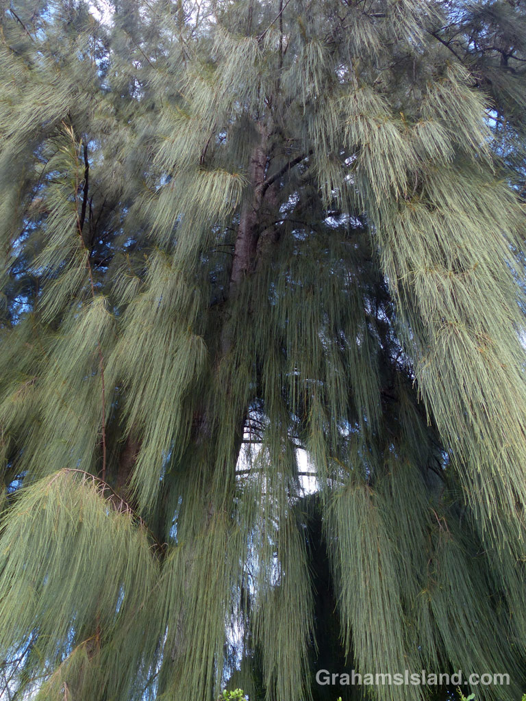 An ironwood tree with its cascading foliage