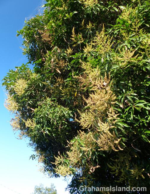 A mango tree in bloom