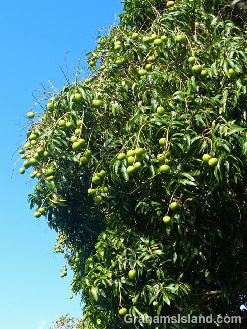 A mango tree bearing fruit