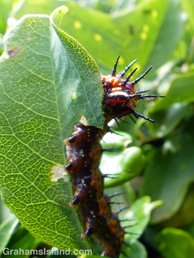 A passion vine butterfly caterpillar chews a leaf on the Big Island.