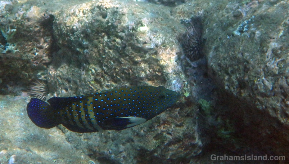 A young peacock grouper on the Big Island