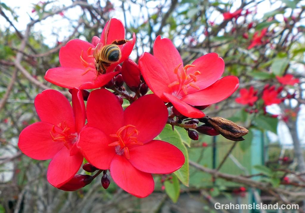 A bee investigates a Rose jatropha on the Big Island.