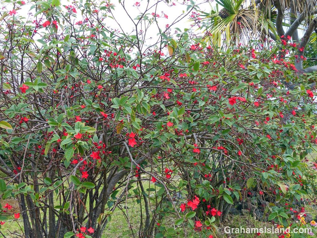 Rose jatropha on the Big Island.