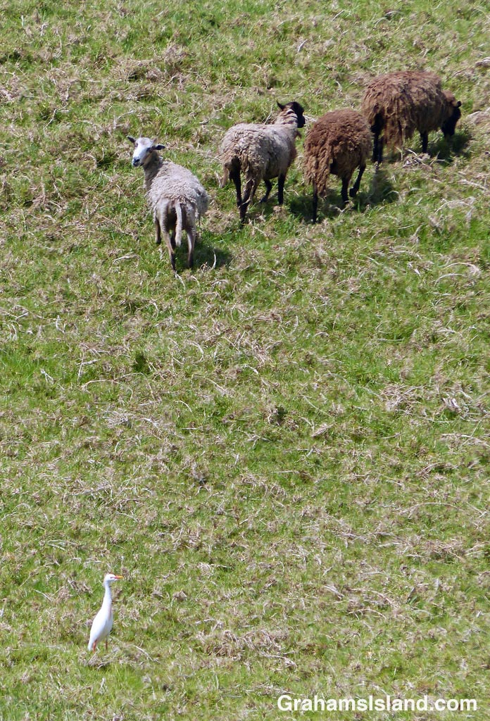 Sheep and a cattle egret on the Big Island.