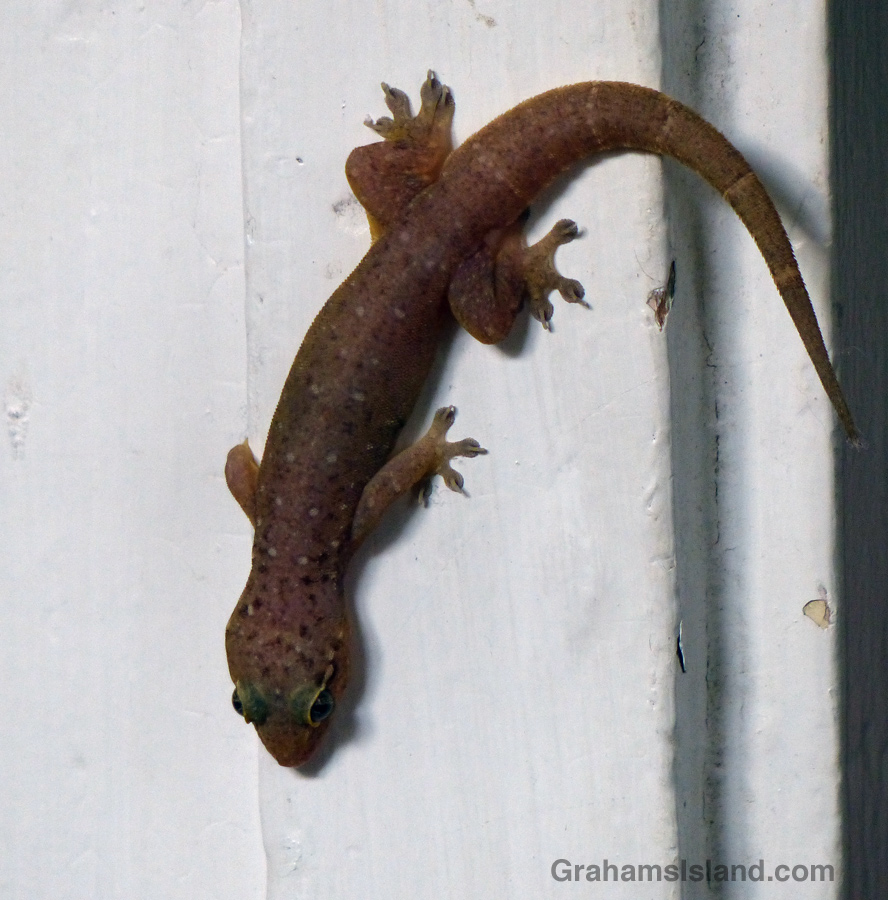 A Stump-toed Gecko pauses on a door frame.