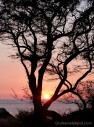 Sunset silhouettes a tree on the Kohala coast.