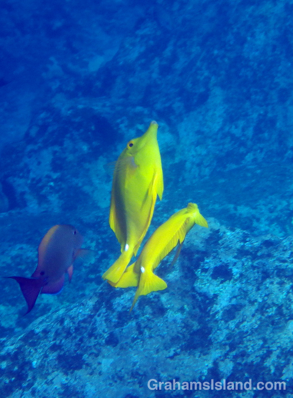 A pair of yellow tang dance in the sunlight