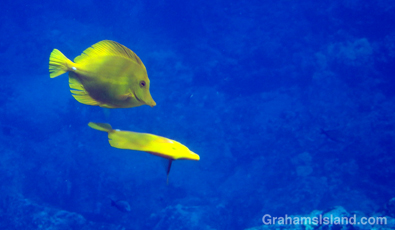 A pair of yellow tang dancing.