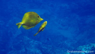 A pair of yellow tang