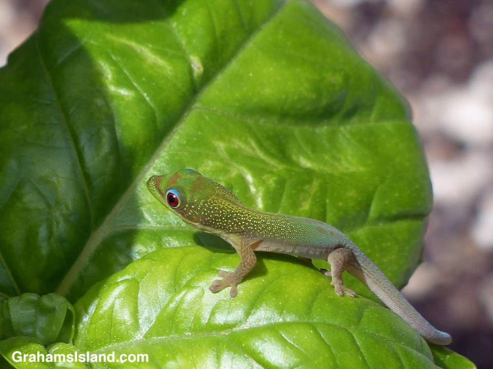 A baby gold dust day gecko on a basil plant.