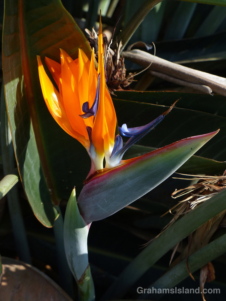 A bird of paradise flower on the Big Island