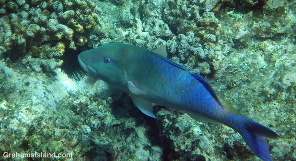 A large adult Bluefin Trevally.