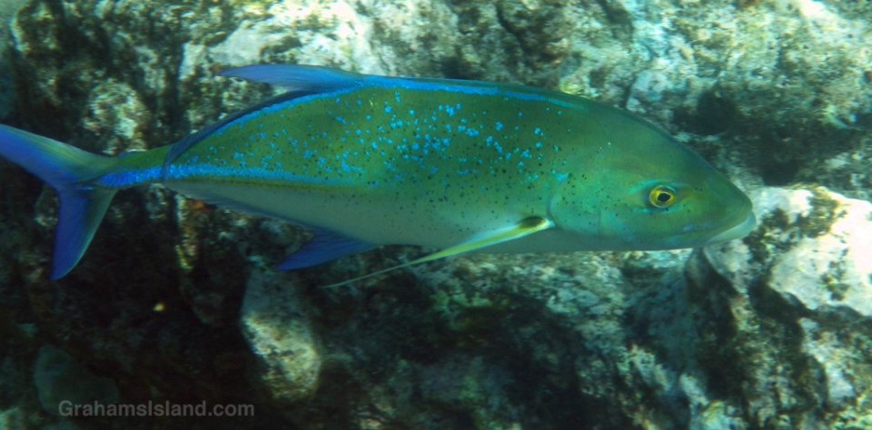 A small adult bluefin trevally.