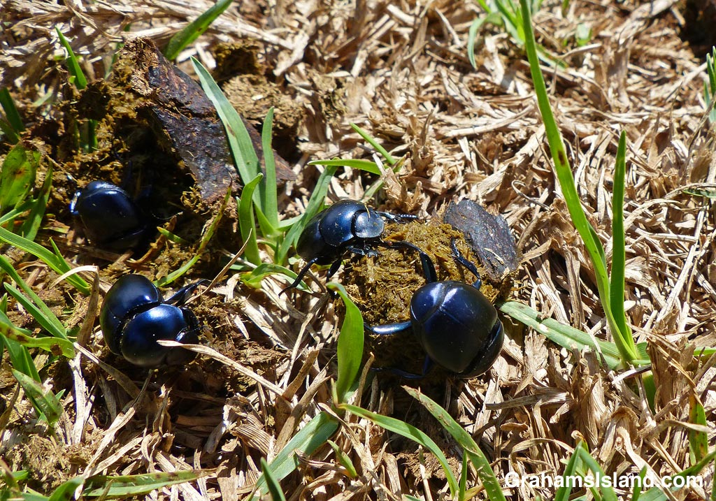 Dung beetles prepare a dung ball prior to rolling it away.