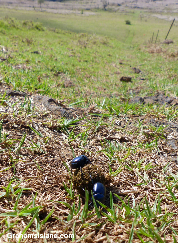 Dung beetles roll their dung ball down a steep hill.