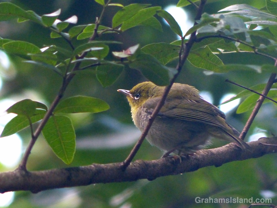 A Japanese white-eye hunkers down on a branch