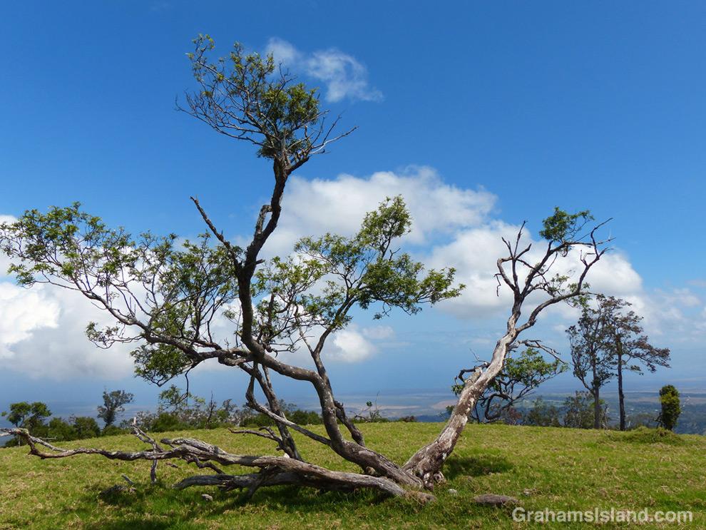 A Mamane tree atop Pu'u Wa'awa'a, with the coast in the distance.