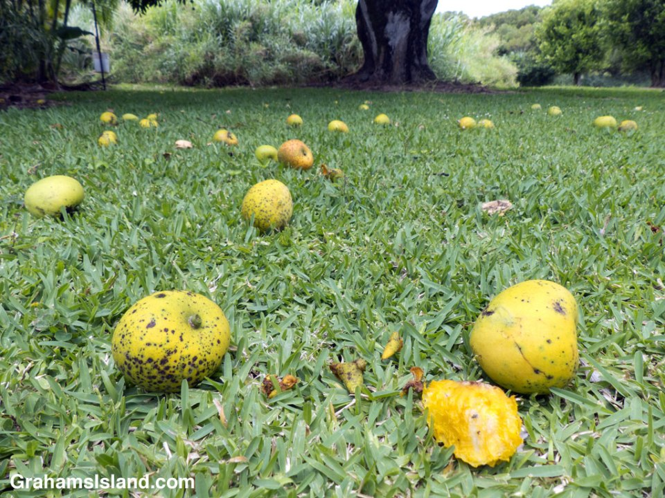Mangoes lie on the ground after a strong wind.
