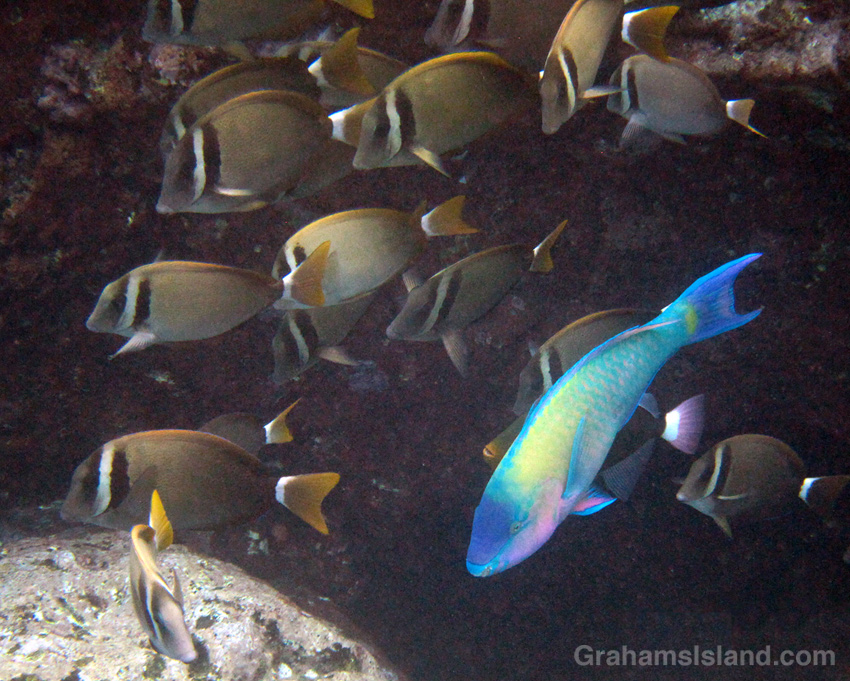 A palenose parrotfish swims with a school of whitebar surgeonfish.