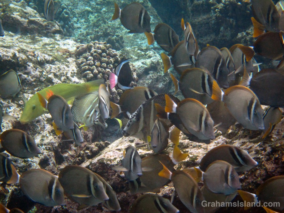 A cigarfish and pinktail triggerfish add color to a shoal of surgeonfish.