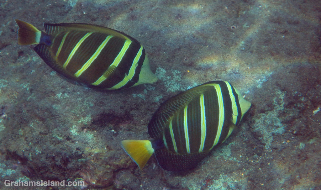 A pair of sailfin tang graze for algae.