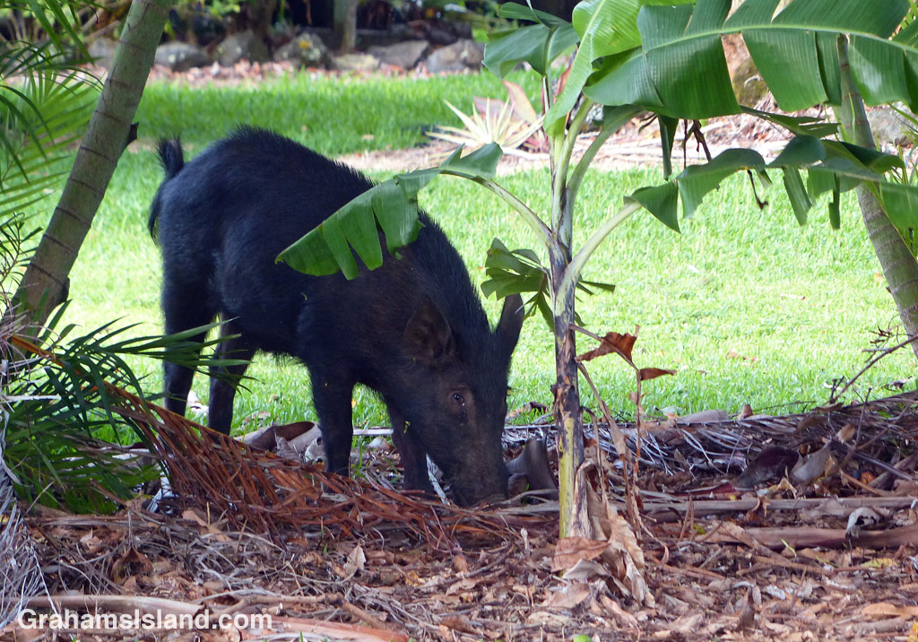 A wild pig forages for food on the Big Island
