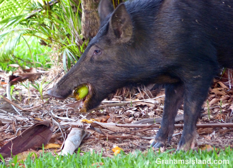 A wild pig snacks on a mango on the Big Island
