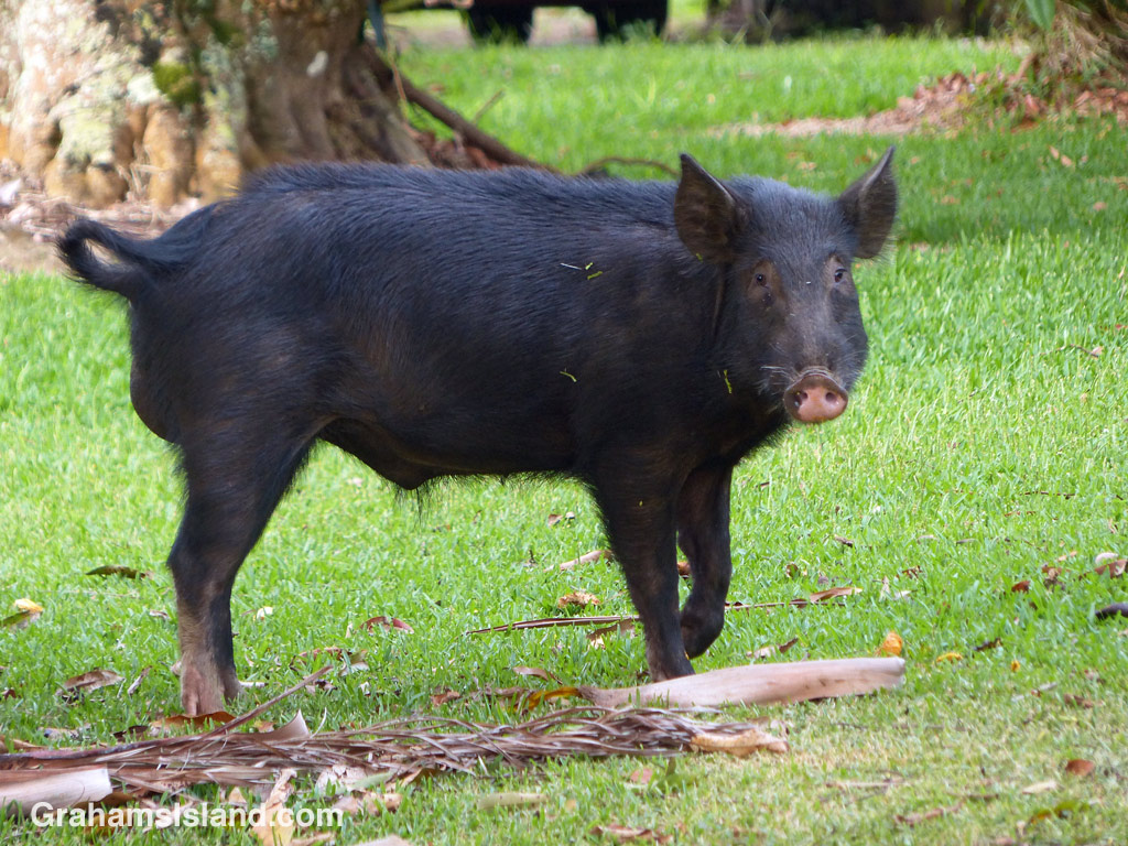 A wild pig on the Big Island