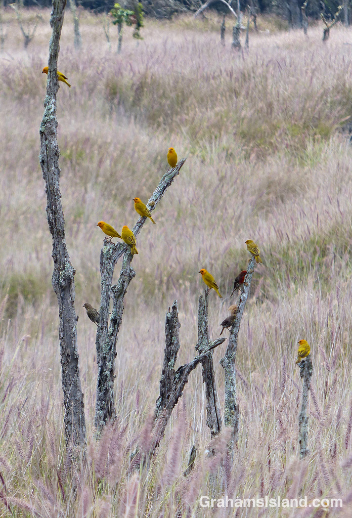 A flock of finches at rest on the Big Island