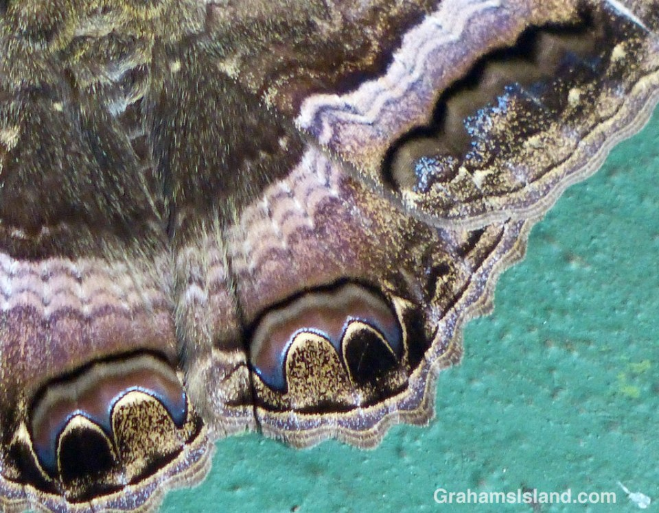 Colors and patterns on the wing of a black witch moth.