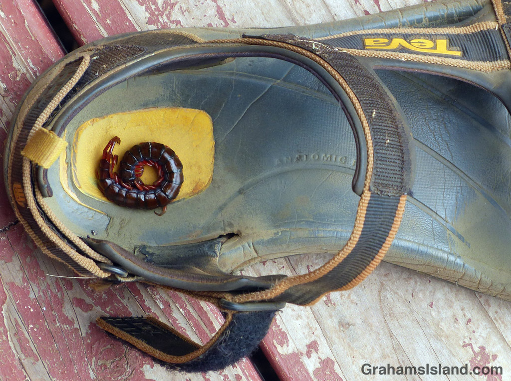 A centipede curled up in a sandal on the Big Island.