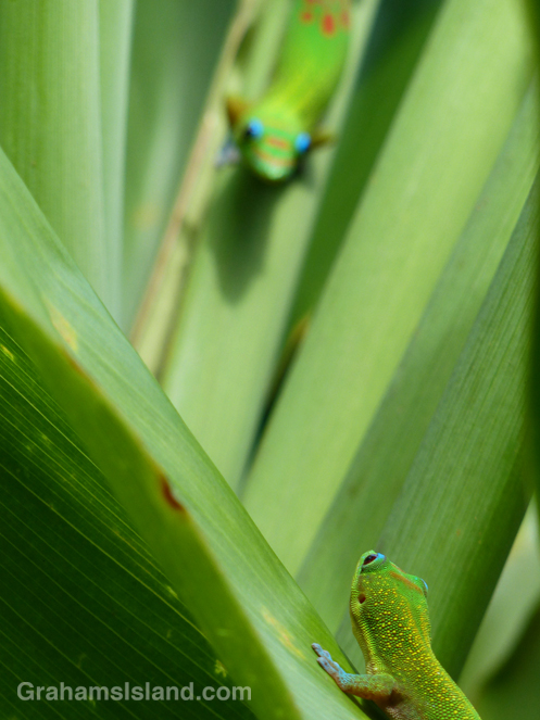 A gold dust day gecko spots another gecko on the Big Island