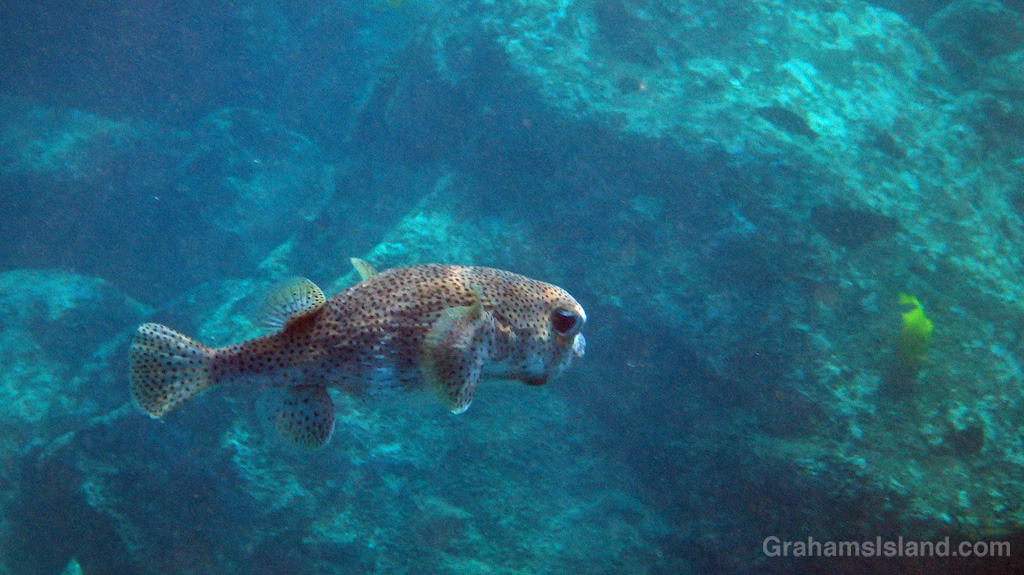 A giant porcupinefish swims in the waters of the Big Island