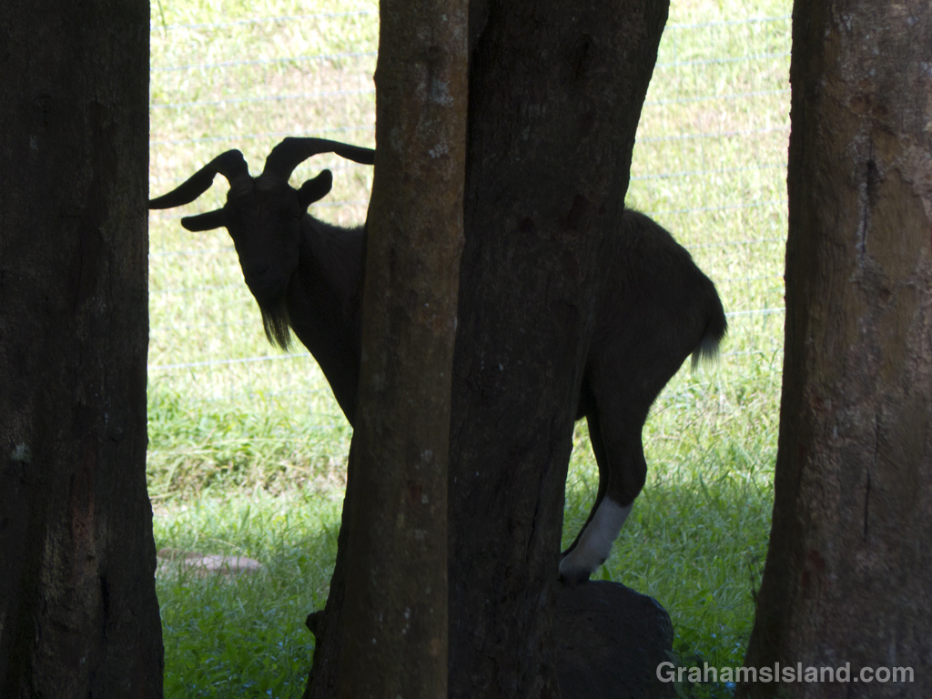 A goat peers through trees on the Big Island.