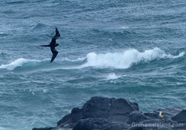 A great frigatebird angles into the winds of tropical storm Darby.