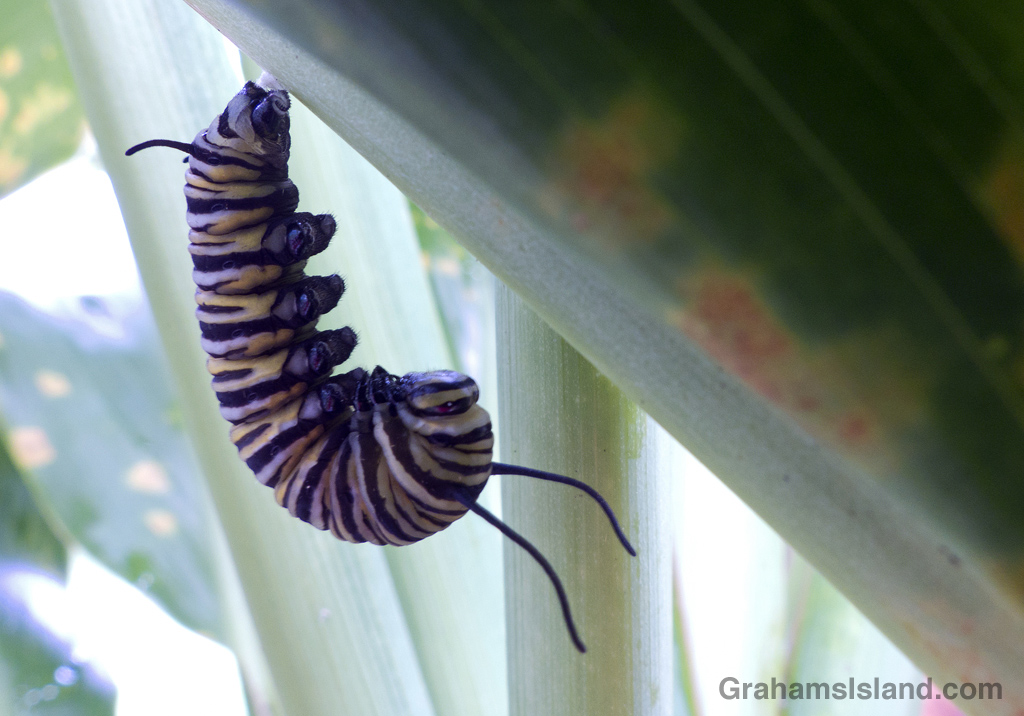 A Hawaiian monarch butterfly caterpillar preparing to pupate.