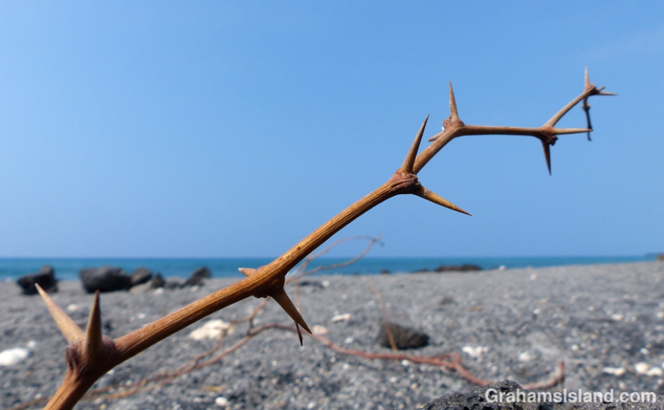 Kiawe thorns on a Big Island beach.