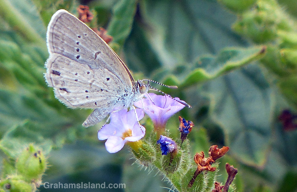 A lesser grass blue butterfly takes a drink from a small purple flower.