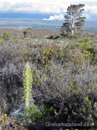 A silversword blooming on Mauna Loa with Pu'u O'o vent erupting in the background.