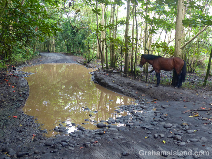 A horse stands by a pool in the road to the beach at Waipi'o Valley