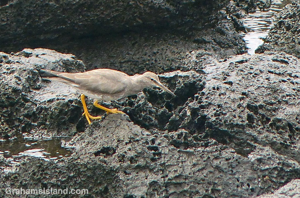 A wandering tattler on the Big Island.